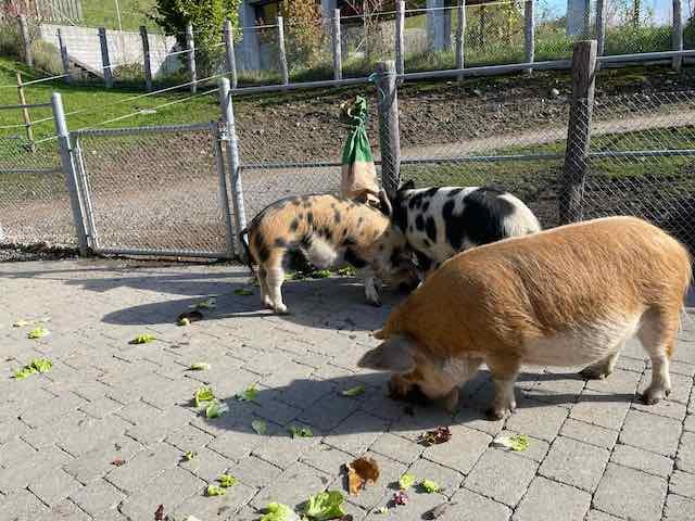 Die kune kune Schweine sind immer wieder amüsant